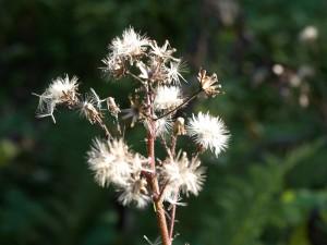 Blume3.jpg